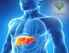 Hepatitis C is a blood borne virus that makes the liver swell and affects 2.7 million people in the United States. Studies have shown marijuana shows potential as a anti-inflammatory treatment and helps patients manage symptoms associated with the virus. To know more about it, sign up here for free http://www.connect2canna.com/contact/ #MarijuanaTreatment #Medicines