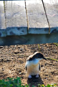 Little Penguin, Nobbies, Phillip Island - thespiceadventuress.com