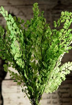 "Adiantum Luthi Ferns 8"" tall  Green Preserved  (8 stems)   $6.59"