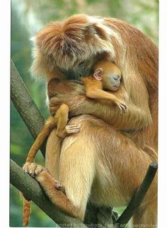 Maternal love: A Gee's Golden Langur hugging her baby. This beautiful monkey species is one of India's most endangered primates.