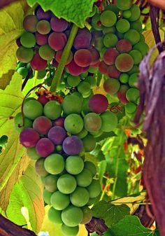 Autumn Grapes On The Vine