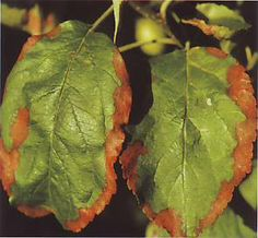 Apple leaves damaged by potassium deficiency. Potash deficiency on other crops is also shown on this page.