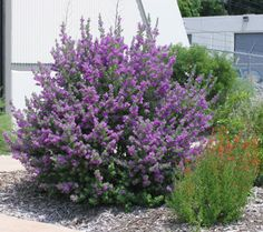 Gardening in South Florida: Fast Growing Shrubs in South Florida I