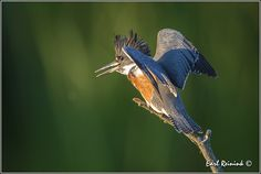 Belted Kingfisher (20130810-0022) | Flickr - Photo Sharing!