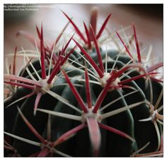 Ferocactus latispinus • Devil's Tongue Barrel Cactus • hardy to 25 degrees, full sun, flowers range from creamy white to fuschia, blooms late summer to early fall, drought tolerant, suitable for xeriscaping, subject to rot if over watered.