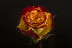 TUTTI FRUTTI Tutti Frutti, Spring, Flowers, Plants, Roses, Color, Colour, Pink, Flora