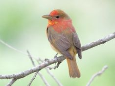 Summer Tanager immature male © Stephen Ramirez, Texas, May 2011, http://www.flickr.com/photos/coinpurse/5684928487/