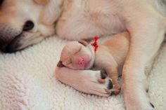 Expecting puppies in your house can be exciting, but it is quite important to provide proper care to the puppies as well as their mother. Optimum care will ensure that the mother and her puppies [. Animals And Pets, Baby Animals, Funny Animals, Cute Animals, Cute Puppies, Cute Dogs, Dogs And Puppies, Doggies, Labrador Puppies