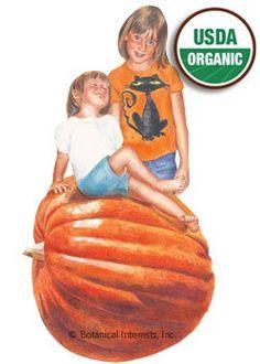Pumpkin Big Max Organic HEIRLOOM Seeds
