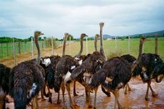 Ostrich Farms in Oudtshoorn Ostriches, World Travel Guide, Most Visited, Africa Travel, Farms, South Africa, Attraction, Camel, Animals