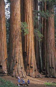 Sequoia National Park, California.incredible to see.  If you go this far also go to Calaveras Big Trees. There is a tree that was cut down(sadly) that is big enough for a dance floor on the stump!