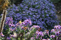 Raydon's favorite (Aster oblongifolius 'October Skies', zones 3 to 8) was described by a friend as bulletproof. This plant spreads and seeds...