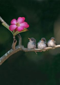 The very best of Rabbit Carrier's pins - 3 Little Birds♥️ Cute small birds on tree branch looking at pink flower.Image provided by Getty Images. Cute Birds, Pretty Birds, Small Birds, Colorful Birds, Beautiful Birds, Animals Beautiful, Exotic Birds, Funny Birds, Tropical Birds