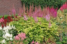 """Color Flash™ Lime Astilbe has an amazing new lime green foliage! Color Flash™ Lime has a pale pink plume that stands approximately 10"""""""" above the foliage, what a great new addition to your part shade"""