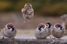 スズメ (雀) Tree Sparrow, Eurasian Tree Sparrow (Passer montanus, Fringilla montana, Loxia scandens, Passer arboreus) Nature Animals, Animals And Pets, Baby Animals, Funny Animals, Cute Animals, Animals Planet, Wildlife Nature, Cute Birds, Pretty Birds