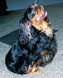 King Charles Spaniel - A small black and brown dog with long ears sits and looks upwards. It has a short stubby muzzle.