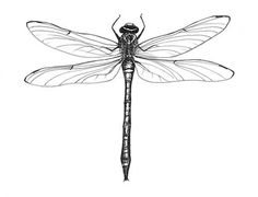- Alex Robb Alexandra Robb wildlife paintings watercolour pen prints botanical paintings (scheduled v - Dragonfly Drawing, Dragonfly Tattoo Design, Dragonfly Art, Tattoo Designs, Dragonfly Painting, Wildlife Paintings, Animal Paintings, Future Tattoos, New Tattoos