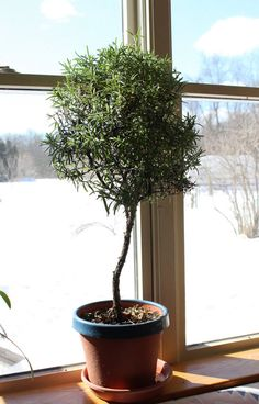 turn a rosemary bush into a little rosemary tree for your windowsill
