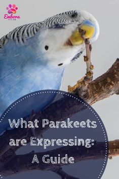 Parakeet Behavior Guide: How to Know What They are Expressing – Embora Pets Budgie Parakeet, Parakeets, Budgie Toys, Parrots, Baby Budgies, Budgies Care, List Of Birds, Pet Bird Cage