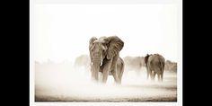 Sepia Elephant herd in dust