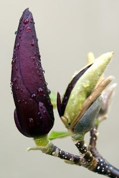 lariwashburn: (via flora) magnolia bloom Amazing Flowers, My Flower, Purple Flowers, Beautiful Flowers, Dame Nature, Colorful Roses, Magnolias, Shades Of Purple, Dark Purple