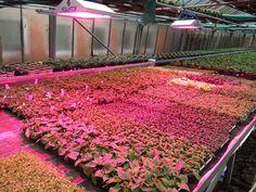#mayr #gartengenuss #LED #pflanzen #lampe #licht #beleuchtung #gartenbau #gemüsebau #gärtnerei #horticulture #greenhouse #lighting Sidewalk, Plants, Lighting, Horticulture, Light Fixtures, Flora, Lights, Plant, Lightning