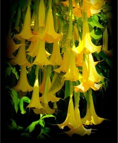 Think this is amazing think you can choose the best pin from 7 glowing golden angel trumpets photograph by carla parris glowing golden angel trumpets fine art prints and posters for sale mightylinksfo Choice Image