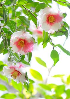 All sizes | Camellia japonica | Flickr - Photo Sharing!