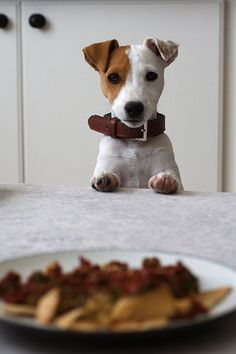 Please to have the pasta? #jackrussell