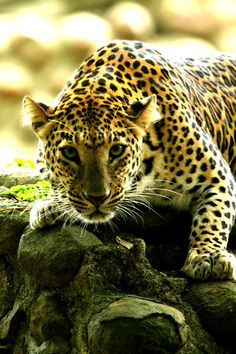 | Leopard | Source | Makxveli |