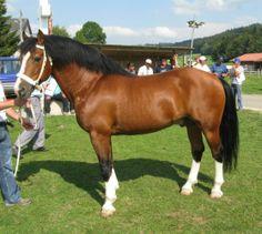 Freiberger stallion Crépuscule