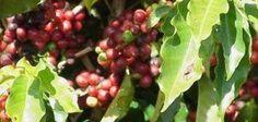 Grow Coffee Beans