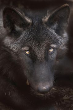 Wolf - null