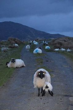 Scotland has the Lock Ness Monster - Ireland has Zombie sheep. The guardian's of Connemara, snapped by Mick Clancy! Fluffy Animals, Animals And Pets, Cute Animals, Naive, Sheep Puns, Tapetum Lucidum, Creepy Movies, Halloween Eve, Pig Farming