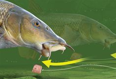 Snag-free link legering rig for big barbel and chub