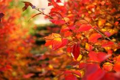 Not long after ad marketing turns from waterparks and beach getaways to maple spice lattes and pumpkin facials, fall colors begin to . Deep Red Color, Orange Color, Pumpkin Facial, Leaves Changing Color, Sweet Gum, Dogwood Trees, Wind And Rain, Autumn Forest, Red Apple