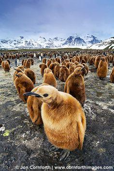 Salisbury Plain King Penguins 33 by Cornforth Images, via Flickr