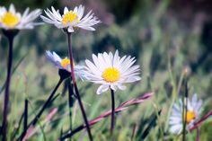 https://flic.kr/p/RXBGNg | Daisy Crazy | There is always an inner joy at seeing the Daisy; when it returns, it is a sign of winter's end and the lighter days of spring and summer. On those dark cold February days, it is nice to view pictures of them and long for their return in lawns and meadows.