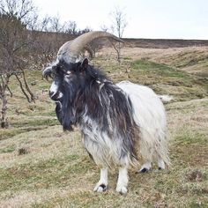 1000 images about goat breeds on goats