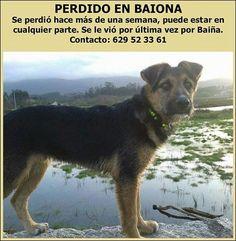 ASOCIACION COORDINADORA PROTECTORAS PROVINCIA PONTEVEDRA: Baiona. Se busca este perro. urgente