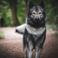 Beautiful Dogs, Animals Beautiful, Wolf Packs, Wolf Husky, Wolf Pictures, Awesome Dogs, Quokka, Types Of Dogs, Dog Photography