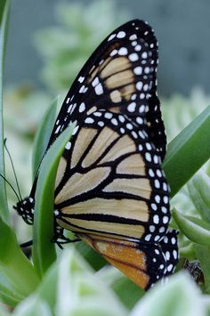 Monarch Butterfly..imagine migrating your life only to never see your end goal..your life is today help your next of kin to meet theirs.