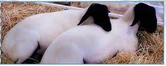 USSA - United Suffolk Sheep Association