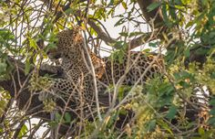African Leopard in the early morning