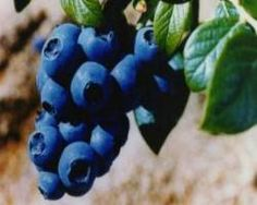Blueberry - Incredible Edibles® ... Bringing Your Garden Alive With Fruit