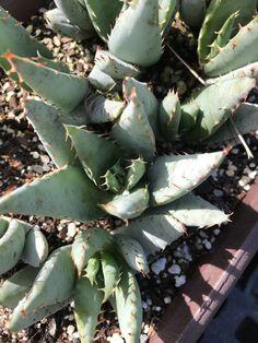 Aloe peglerae