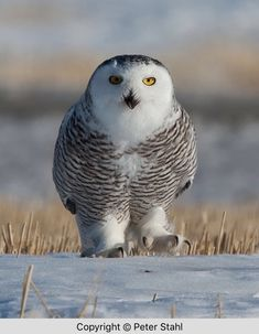 Snowy Owl, Owls, Character Design, Bird, Animals, Ideas, Animales, Animaux, Birds