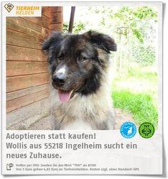 Wollis Besitzer konnten ihn nich mehr behalten und so kam er zu den Tierhelfern Ingelheim.  http://www.tierheimhelden.de/hund/tierheim-ingelheim/owtscharka_mix/wollis/10627-0/  Willis ist ein sehr freundlicher und verspielter Bursche, der Streicheleinheiten liebt und gerne draußen ist. Er ist gut sozialisiert und mag Menschen und Hunden. Er kennt die Grundkommandos teil