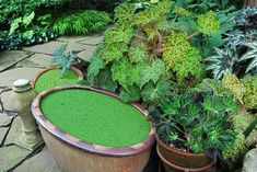 'Marmaduke' with Azolla ( a floating pondweed which can be ordered from fish and water-garden online stores not hardy) Indoor Water Garden, Backyard Water Feature, Garden Pool, Garden Fun, Shade Garden, Garden Ideas, Hydroponic Gardening, Hydroponics, Container Gardening