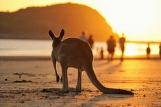 Spotted this cute little joey watching the sunset 😍😍 Photo via @talesfromthewild @qldparks #theoutdoorconnection #campingaustralia #exploreaustralia #weareexplorers #offroad #4x4 #campinggoals #camperlifestyle #campingadventures #stargazing #tent #campsite #campingwithdogs #tentdiaries #australian_vacations #beautifuldestinations #seeaustralia #explore #adventures #beautiful_world #travel #solotraveller #travelphotography #traveller #wander #offthebeatentrack #dogsofinstagram